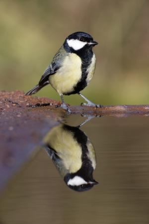 Great tit, Parus major, single bird at water, Warwickshire, January 2014 photo