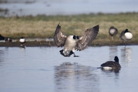 canadensis: Canada goose, Branta canadensis, single bird in flight landing on water, Gloucestershire, Januray 2014