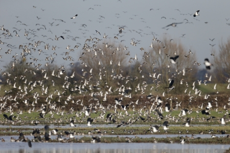 pluvialis: Golden plover, Pluvialis apricaria, group of birds in flight, Gloucestershire, Januray 2014