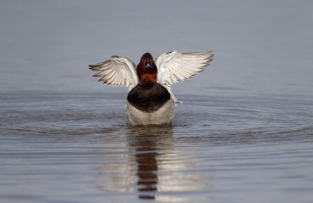 Northern pochard, Aythya ferina, single male on water wing stretching, Gloucestershire, Januray 2014 Stock Photo
