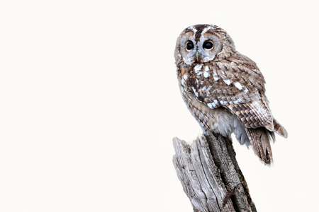 Tawny owl, Strix aluco, single bird on stump, captive bird in Gloucestershire, winter 2010