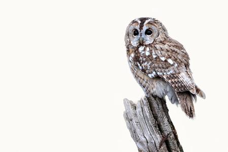 tawny: Tawny owl, Strix aluco, single bird on stump, captive bird in Gloucestershire, winter 2010