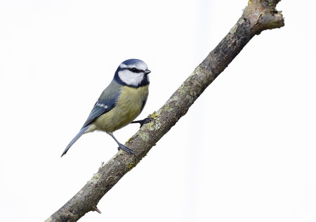 Blue tit, Parus caeruleus, single bird branch with white background, Warwickshire, February 2014 Stock Photo