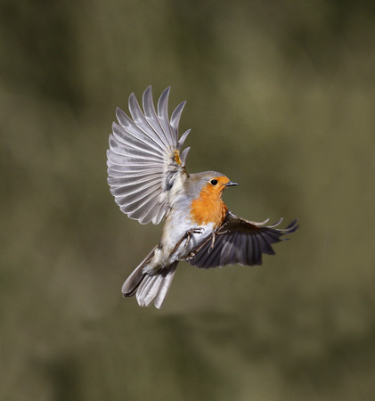 Robin, Erithacus rubecula, single bird in flight, Warwickshire, February 2014             Stock Photo