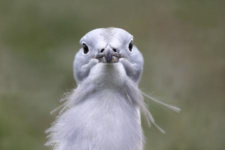 released: Great bustard, Otis tarda, single male on grass, Released birds in Wiltshire, March 2014