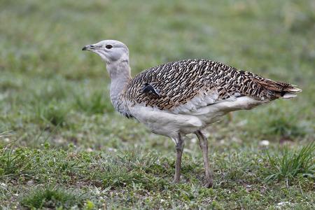 released: Great bustard, Otis tarda, single bird on grass, Released birds in Wiltshire, March 2014               Stock Photo