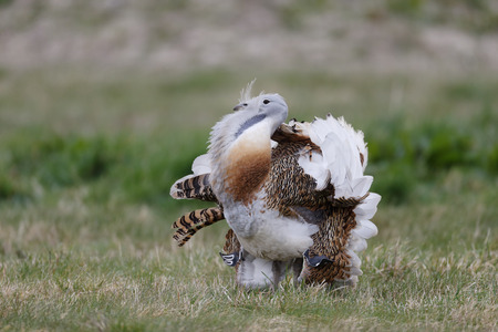 Great bustard, Otis tarda, single male on grass, Released birds in Wiltshire, March 2014               photo