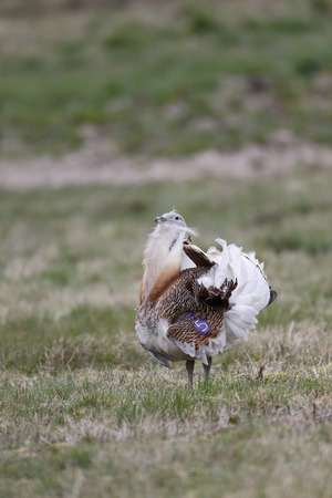 wiltshire: Great bustard, Otis tarda, single male on grass, Released birds in Wiltshire, March 2014