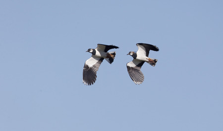 lapwing: Northern lapwing, Vanellus vanellus, single male ground display, Kent, March 2014