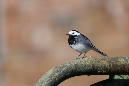 motacilla: Pied wagtail, Motacilla alba yarrellii, single bird on gate Wiltshire, March 2014
