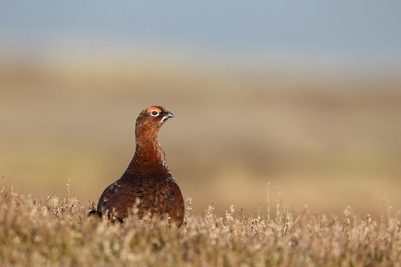 Red grouse, Lagopus lagopus scoticus, Single male on heather, Yorkshire, March 2014
