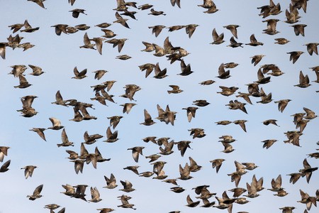 Starling, Sturnus vulgaris, flock in flight, Kent, March 2014               Stock Photo