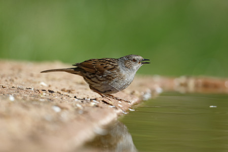 prunella: Dunnock, Prunella modularis, Single bird at water, Warwickshire.