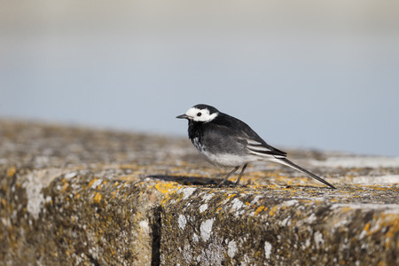 motacilla: Pied wagtail, Motacilla alba yarrellii, single bird on wall, Warwickshire.