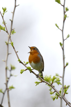 Robin, Erithacus rubecula, Single bird on branch singing, Warwickshire. Stock Photo