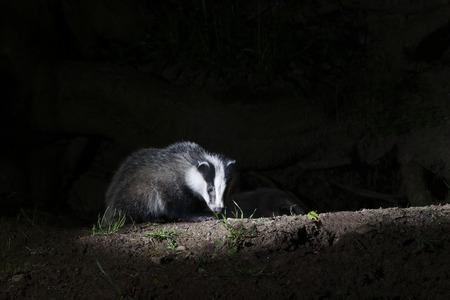 Badger, Meles meles, single mammal at set, Warwickshire, May 2014 Archivio Fotografico
