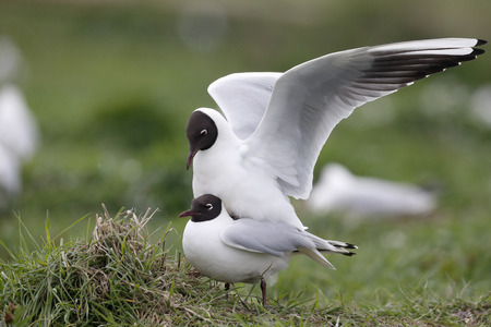 ridibundus: Black-headed gull, Larus ridibundus, two birds mating, Northumberland, May 2014