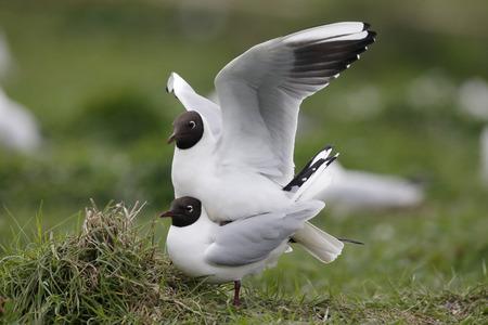 larus ridibundus: Black-headed gull, Larus ridibundus, two birds mating, Northumberland, May 2014