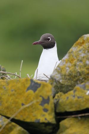 ridibundus: Black-headed gull, Larus ridibundus, single bird on nest, Northumberland, May 2014
