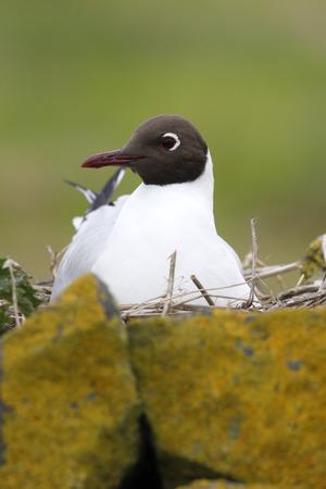 larus ridibundus: Black-headed gull, Larus ridibundus, single bird on nest, Northumberland, May 2014