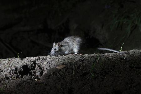 Brown rat, Rattus norvegicus,  single mammal on ground, Warwickshire, May 2014