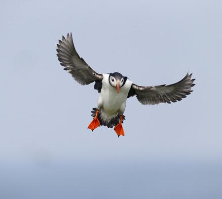 arctica: Puffin, Fratercula arctica, single bird in flight