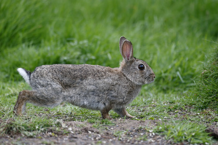 oryctolagus cuniculus: Rabbit, Oryctolagus cuniculus, single mammal on grass Stock Photo