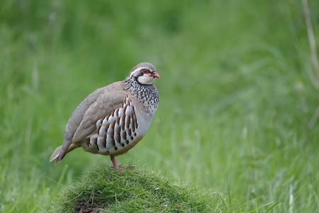 kuropatwa: Red-legged partridge