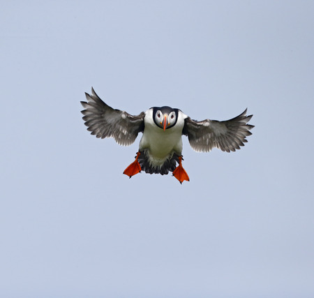 Puffin, Fratercula arctica, single bird in flight