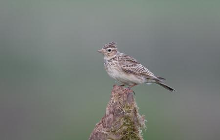 arvensis: Skylark, Alauda arvensis,  single bird on post, Warwickshire, May 2014