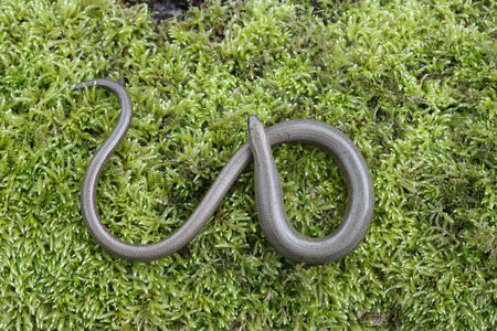 slow worm: Slow worm, Anguis fragilis, single reptile, Warwickshire