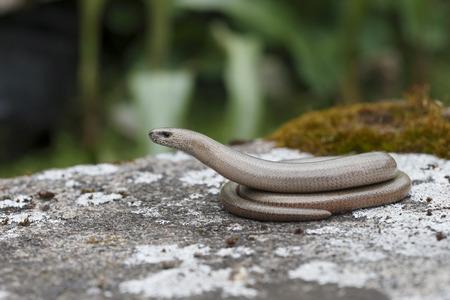 slow worm: Slow worm, Anguis fragilis Stock Photo