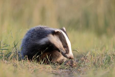 Badger, Meles meles, single mammal, Warwickshire, May 2014