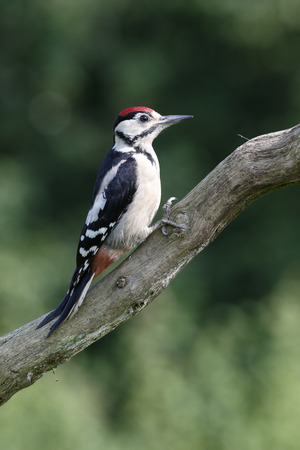 dendrocopos: Great-spotted woodpecker, Dendrocopos major, single immature bird on branch, Warwickshire, July 2014