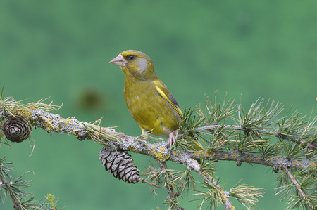 greenfinch: Greenfinch, Carduelis chloris,  single male on branch, Warwickshire, July 2014                     Stock Photo