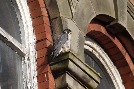 falco peregrinus: Peregrine, Falco peregrinus,  single bird on building, Derbyshire, June 2014                     Stock Photo