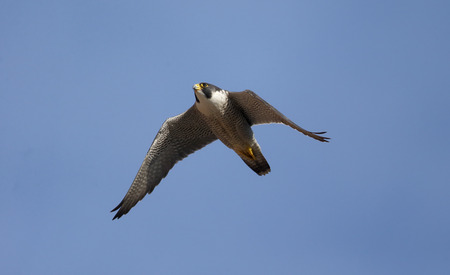 falco peregrinus: Peregrine, Falco peregrinus,  single bird in flight, Derbyshire, June 2014                     Stock Photo