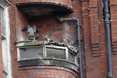 falco peregrinus: Peregrine, Falco peregrinus,  Nest site Belper Mill with young,  Derbyshire, June 2014
