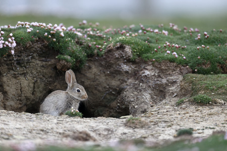 Rabbit, Oryctolagus cuniculus, single mammal by hole, Orkney, June,  2014