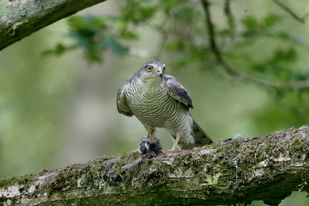 Sparrowhawk, Accipiter nisus, single female with prey on branch, Warwickshire, June 2014