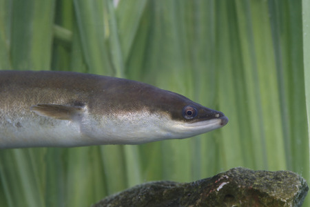 European Eel, Anguilla Anguilla, single head shot of fish in reeds. Warwickshire, August 2014