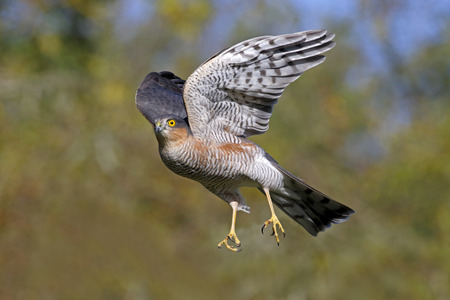 Sparrowhawk, Accipiter nisus, single male bird in flight, Warwickshire, October 2014