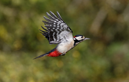 dendrocopos: Great-spotted woodpecker, Dendrocopos major, single male in flight, Warwickshire,  October 2014 Stock Photo