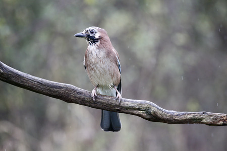 garrulus: Jay, Garrulus glandarius, single bird on branch,  Warwickshire, October 2014 Stock Photo