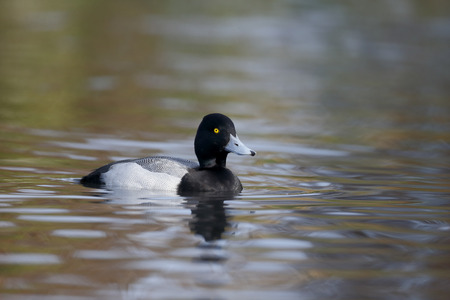 scaup: Greater scaup, Aythya marila, single male on water, captive, November 2014