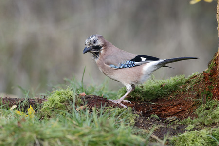 garrulus: Jay, Garrulus glandarius, single bird on a branch, Warwickshire, November 2014 Stock Photo