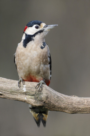 dendrocopos: Great-spotted woodpecker, Dendrocopos major, single male on branch, Warwickshire, December 2014 Stock Photo