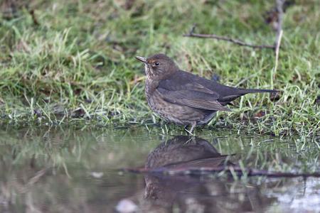 turdus: Blackbird, Turdus merula, single female drinking, Warwickshire, December 2014 Stock Photo