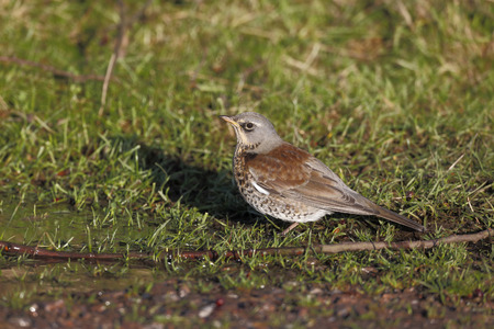 pilaris: Fieldfare, Turdus pilaris. single bird drinking, Warwickshire, December 2014