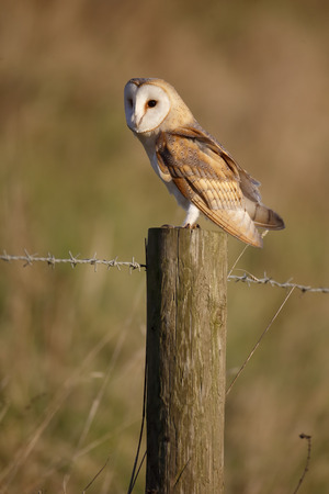 Barn owl, Tyto alba, single bird on post, Norfolk, January 2015 Stock Photo